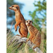 Meerkats Diamond Painting